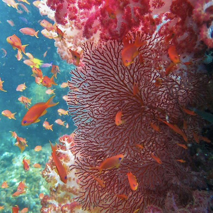 coral reef in savusavu